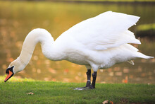 Mute White Swan (Cygnus Olor) With Neck Extended While Wtanding On Lush Green Grass With An Autumn Coloured Sunlit River In The Background