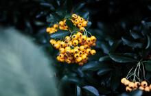 Orange Berries In Autumn Hangi...