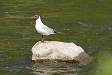 Black-headed Gull Standing On The Rock In The River