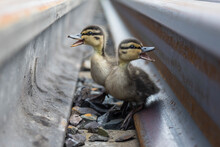 Two Funny Little Grey Fluffy Ducklings Quacking Merrily