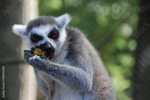 Fototapeta premium Lemur has lunch time 3