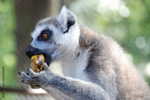 Fototapeta premium Lemur has lunch time 2