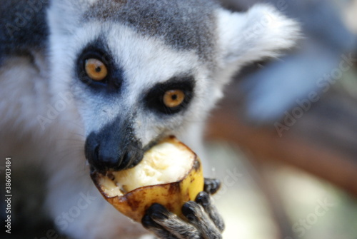 Fototapeta premium Lemur has lunch time