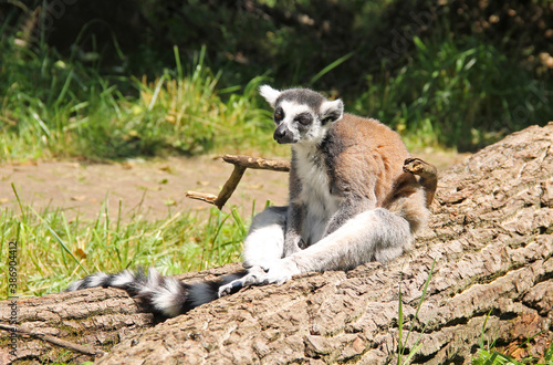 Fototapeta premium cute ring-tailed lemur (Lemur catta) sitting on the fallen trunk of tree
