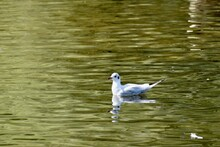 Seagull On The Pond