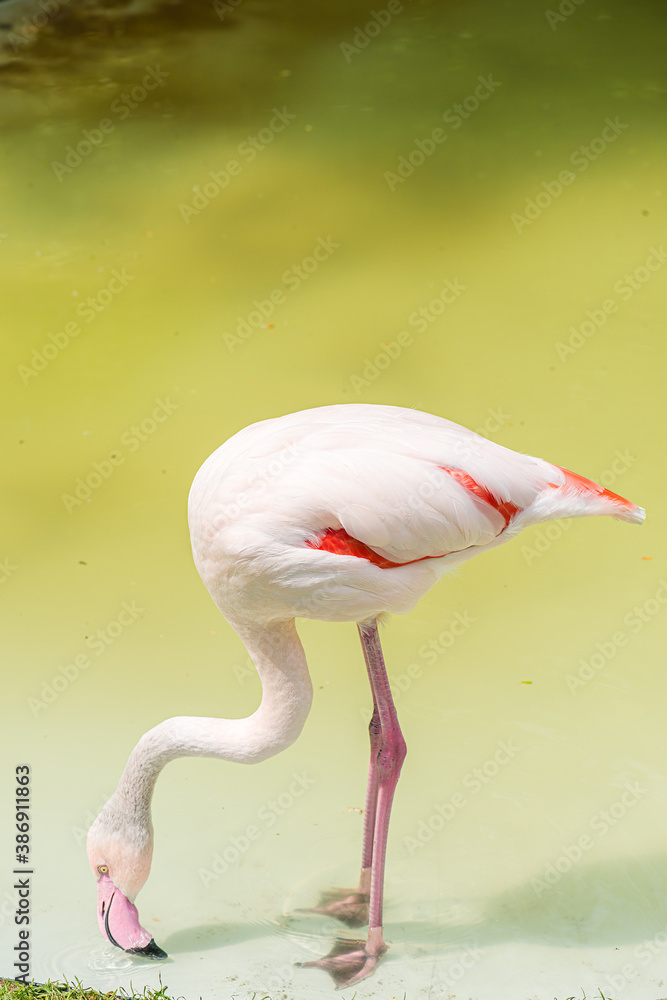 Fototapeta Flamingo beak with pink lake and walks on their drinking water it. The greater flamingo (Phoenicopterus roseus) is the most widespread and largest species of the flamingo family.