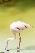 Flamingo Beak With Pink Lake And Walks On Their Drinking Water It. The Greater Flamingo (Phoenicopterus Roseus) Is The Most Widespread And Largest Species Of The Flamingo Family.