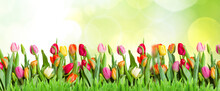 Green Lawn With Tulips