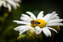Macro Of Bee On A Daisy