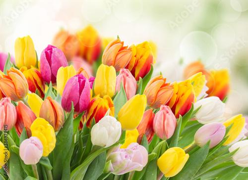Obraz na plátně tulips in garden