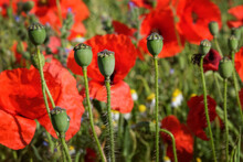 Red Common Field Poppies And S...