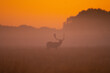 Fallowbuck in the mist