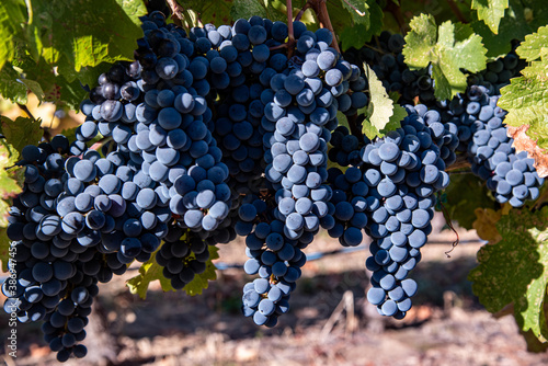 Obraz na plátně Grapes on Vine at Autumn Harvest Time Okanagan Valley, British Columbia