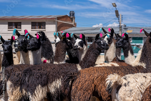 Naklejka premium Close up of a bunch of Bolivian llamas on a street market in Potosi