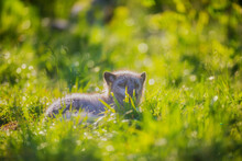 Arctic Fox Walks In The Summer Outdoors In The Tall Green Grass