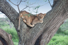 Siesta Time For Pride Of Afric...