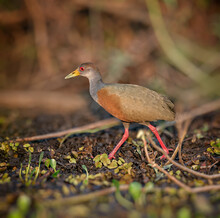 Grey Necked Wood Rail With Long Red Legs Walks To The Left
