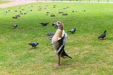 Egyptian Goose , Alopochen Aeg...