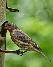 Male House Finch In Molt, Eating A A Feeder