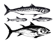 Hand Drawn Illustration Of Ocean Sea Fishes Such As Mackerel, Tuna And Capelin. Vector Illustration Of Underwater Wildlife Animals In Vintage Sketch Style. Great For Packaging, Banner, Menu Design