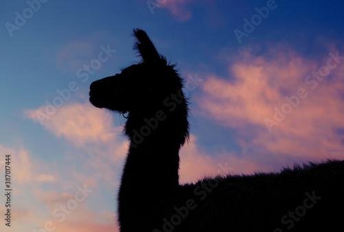 Naklejka premium Llama silhouette close up with sunrise sky background.