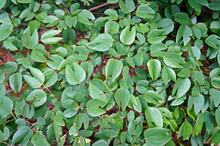 Red Bauhinia Leaves (Bauhinia Galpinii), Belo Horizonte, Brazil