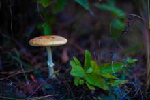 Flat, Orange Fly Amanita Mushroom In The Soil