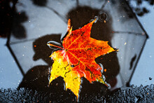 Single Maple Leaf In Autumn Colors In A Puddle With Reflection Of Alone Faceless Person Holding Umbrella On The Background On Wet Street City Asphalt. Mood, Fall Weather Forecast Concept.