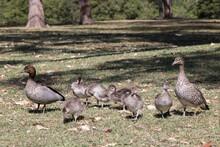Australian Wood Duck Pair With...