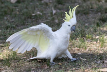 Sulphur-crested Cockatoo With ...