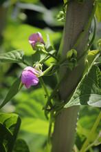 Macro View Of Purple Bean Flow...