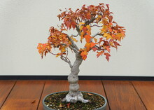 A Maple Bonsai Tree With Red A...