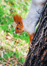A Fluffy Red Squirrel Descends...
