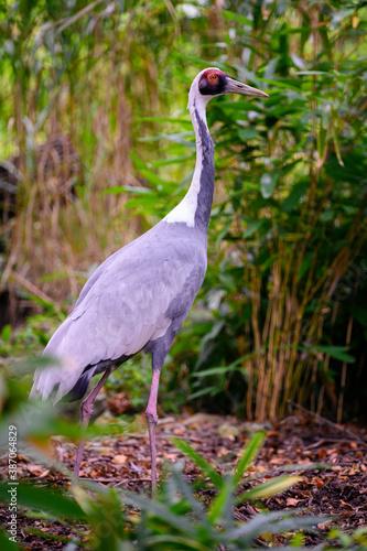 Naklejka premium Antigone vipio - A white-necked crane observes the surroundings.