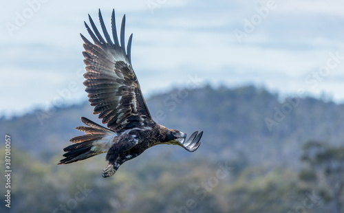 Wedge Tailed Eagle in flight Fotobehang