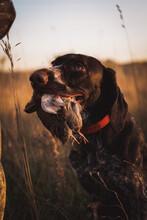 Hunting Dog Holds Quail In Teeth