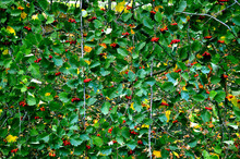 Green Solid Wall Of Hawthorn B...
