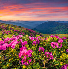 Panel Szklany Łąka Blooming pink rhododendron flowers on the Carpathians hills. Splendid summer sunset on Carpathian mountains with Homula mount on background, Ukraine, Europe. Beauty of nature concept background..