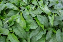 Lush Green Leaves Of Common Comfrey For Natural Background, Also Called Symphytum Officinale Or Beinwell