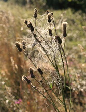 Spider Web On A Dry Thistle Gr...
