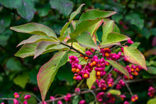 Euonymus Europaeus European Spindle Or Common Spindle In The Colorful Autumn Forest