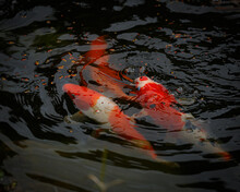 Koi Fish Swimming In A Pond Fe...