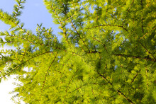 Green Branches Of Larch With F...