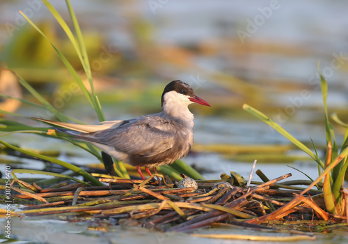 Photo The whiskered tern (Chlidonias hybrida) are photographed close-ups near their nests in the soft morning light of the rising sun