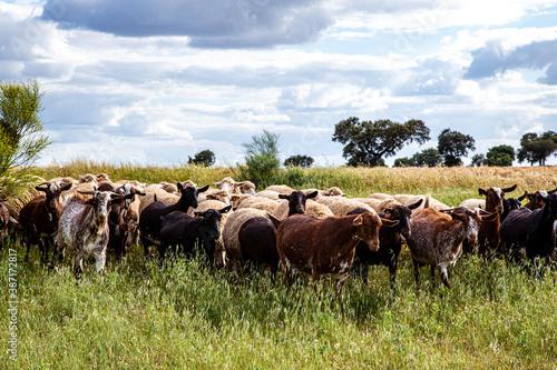Foto Rebaño de ovejas y cabras pastando en campo con cielo nuboso