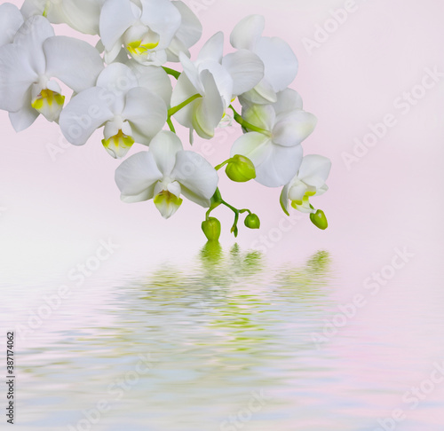 Fototapety, obrazy: light white beautiful orchid flower and green leaf in garden at winter or spring day on nature white.