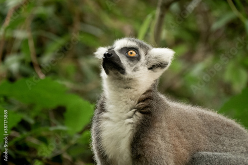 Fototapeta premium Ring- tailed lemur ( lemur catta) close up. wildlife madagaskar.