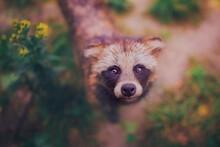 Close-up Raccoon Dog, Portrait...