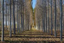Plantation Of Canadian Poplars...