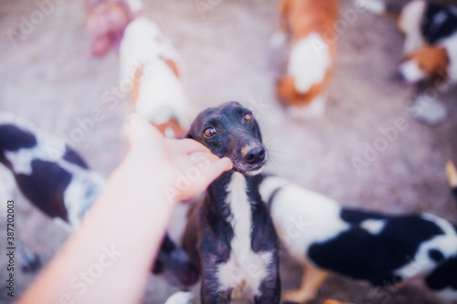 Cute black affectionate whippet close up Wallpaper Mural